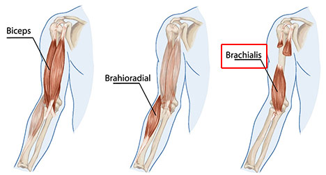 a diagram showing where the brachialis muscle is on your arm