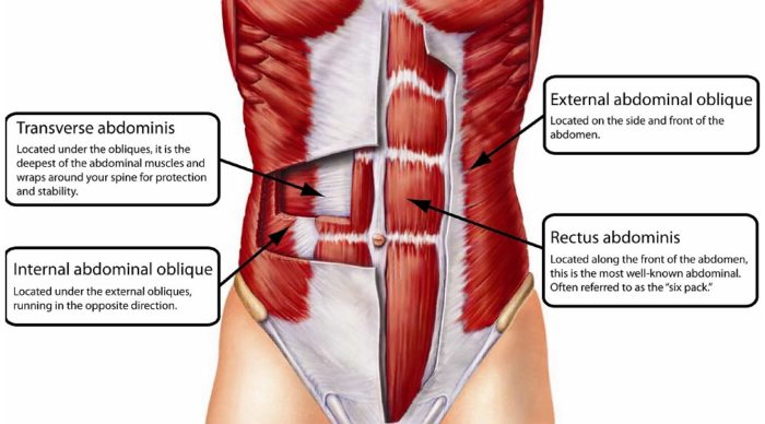 the anatomy of the main core muscles