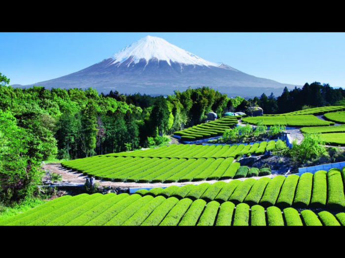 matcha green tea farm in Japan